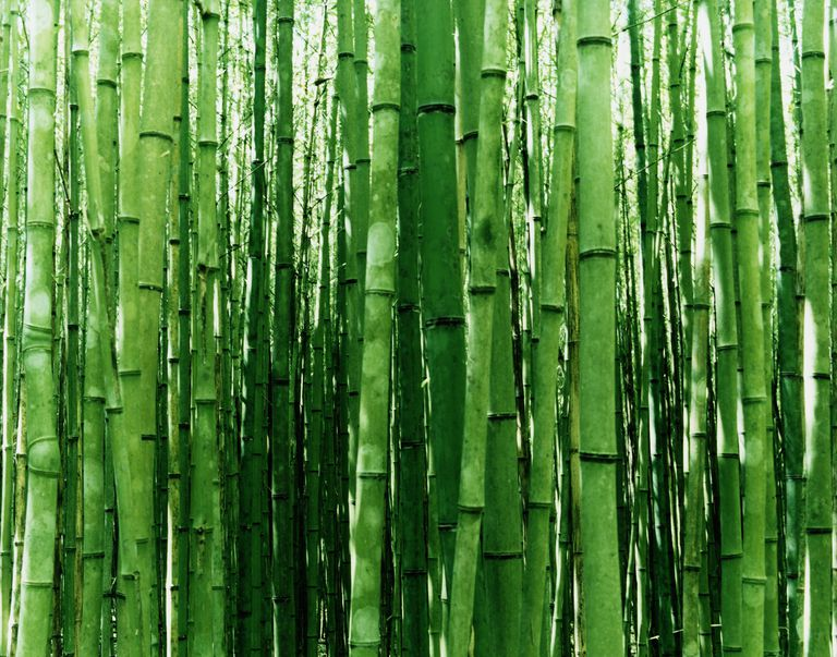 Bamboo forest (Poaceae sp.) , close-up