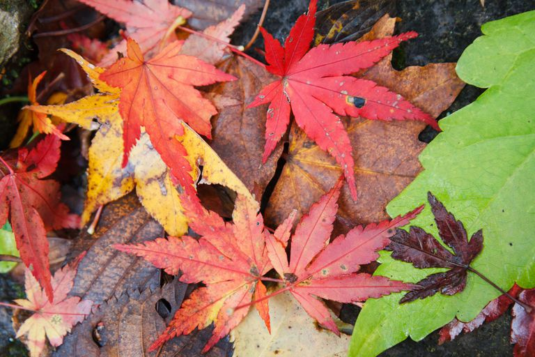 Fall Japanese maple leaves on ground