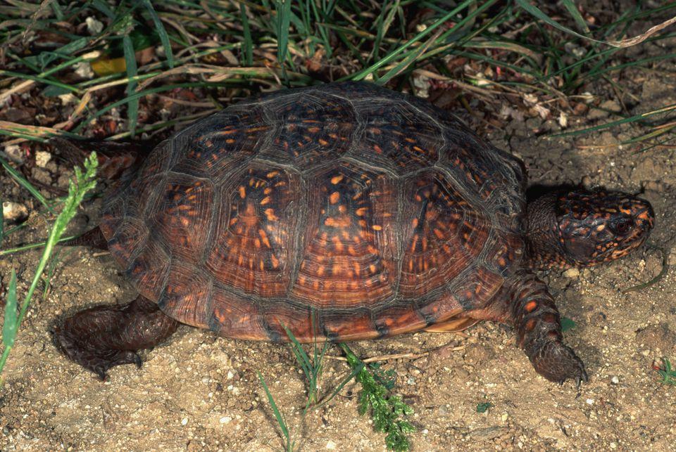 Gulf Coast Box Turtle