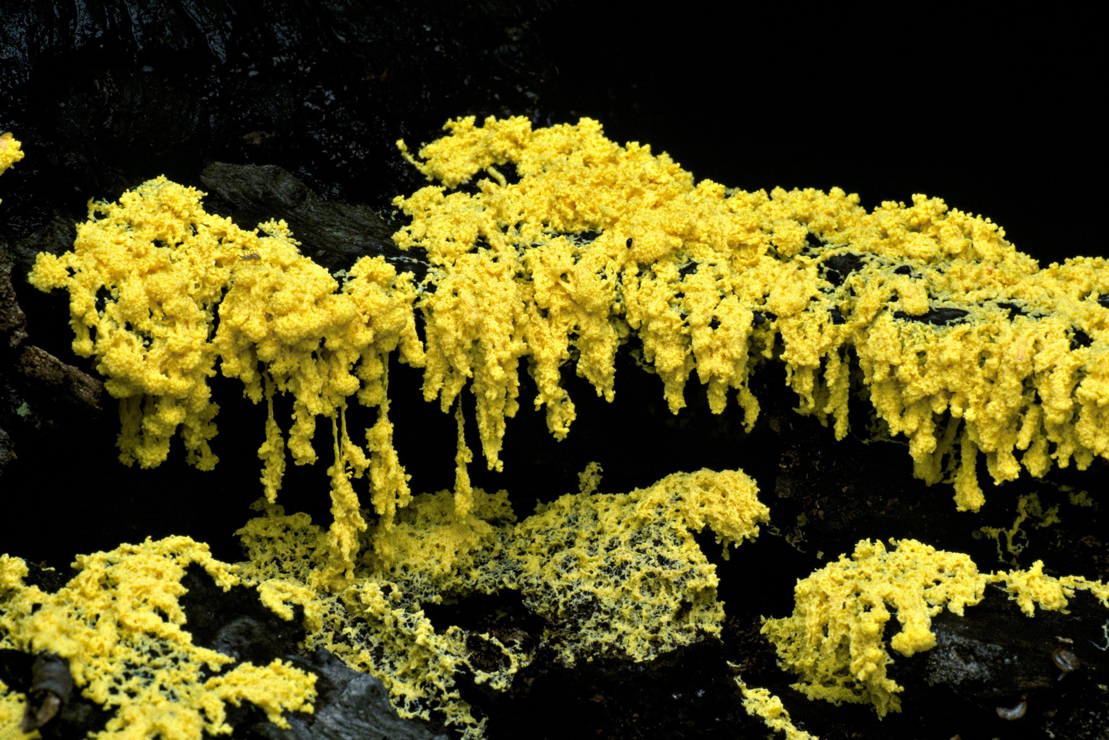 How to Identify and Deal with Dog Vomit Fungus