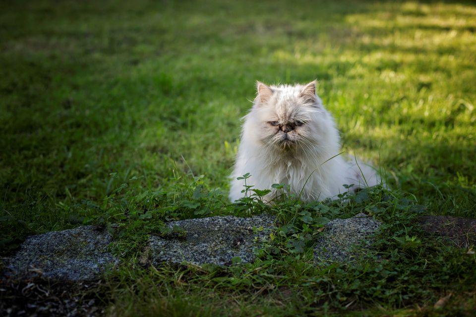 Photo of Persian Cat in Garden
