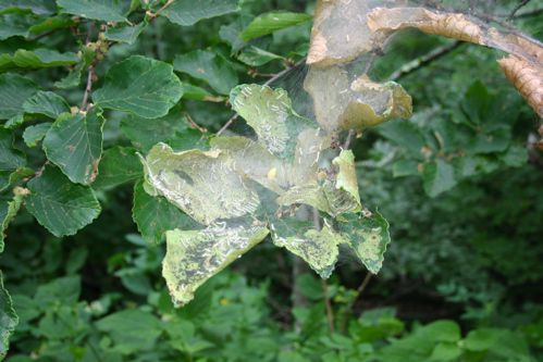 A fall webworm tent encloses the foliage at the end of a branch.