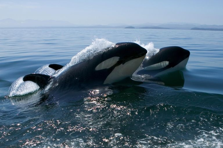 Two Killer whales surfacing with a splash