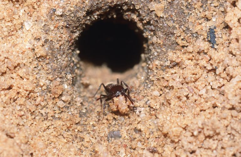 Harvester Ant Clearing the Nest