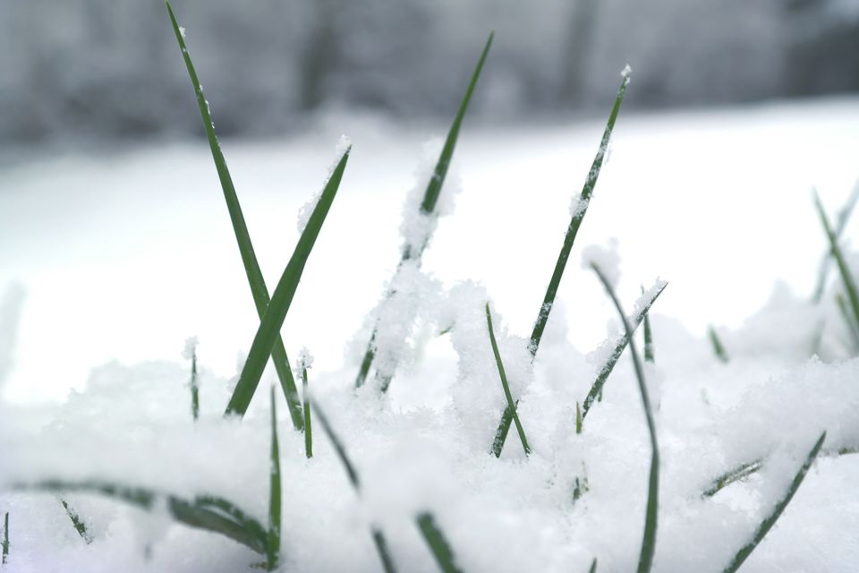 Grass with snow on it