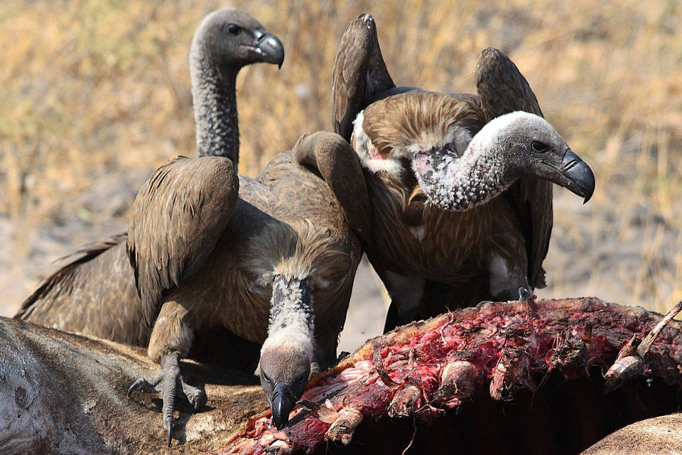 Threats to Vultures - ...