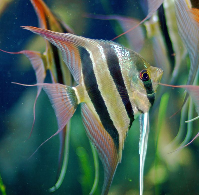 aquarium fish species by common name