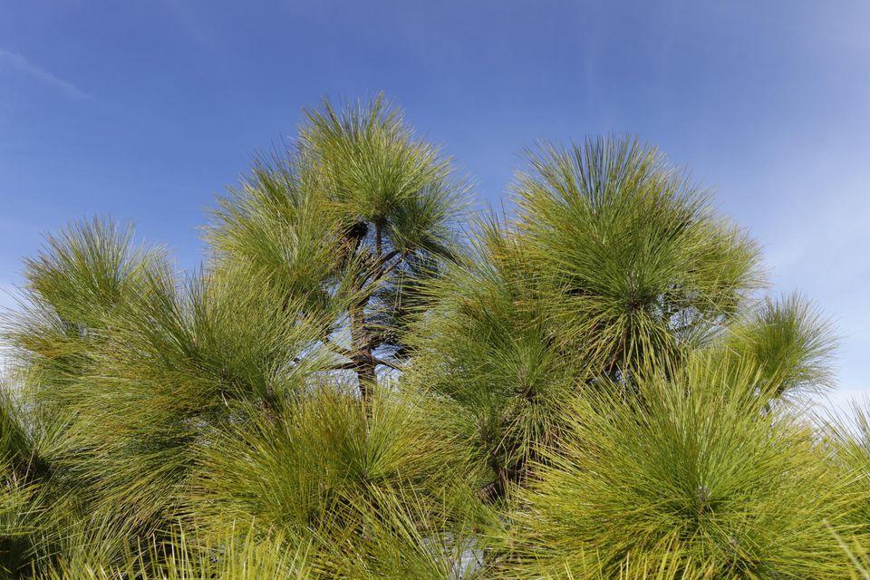 Canary Island pine -Pinus canariensis-, La Palma, Canary Islands, Spain