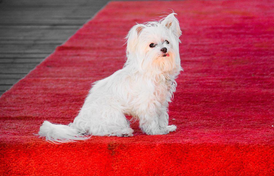 White Maltese Dog On Red Carpet