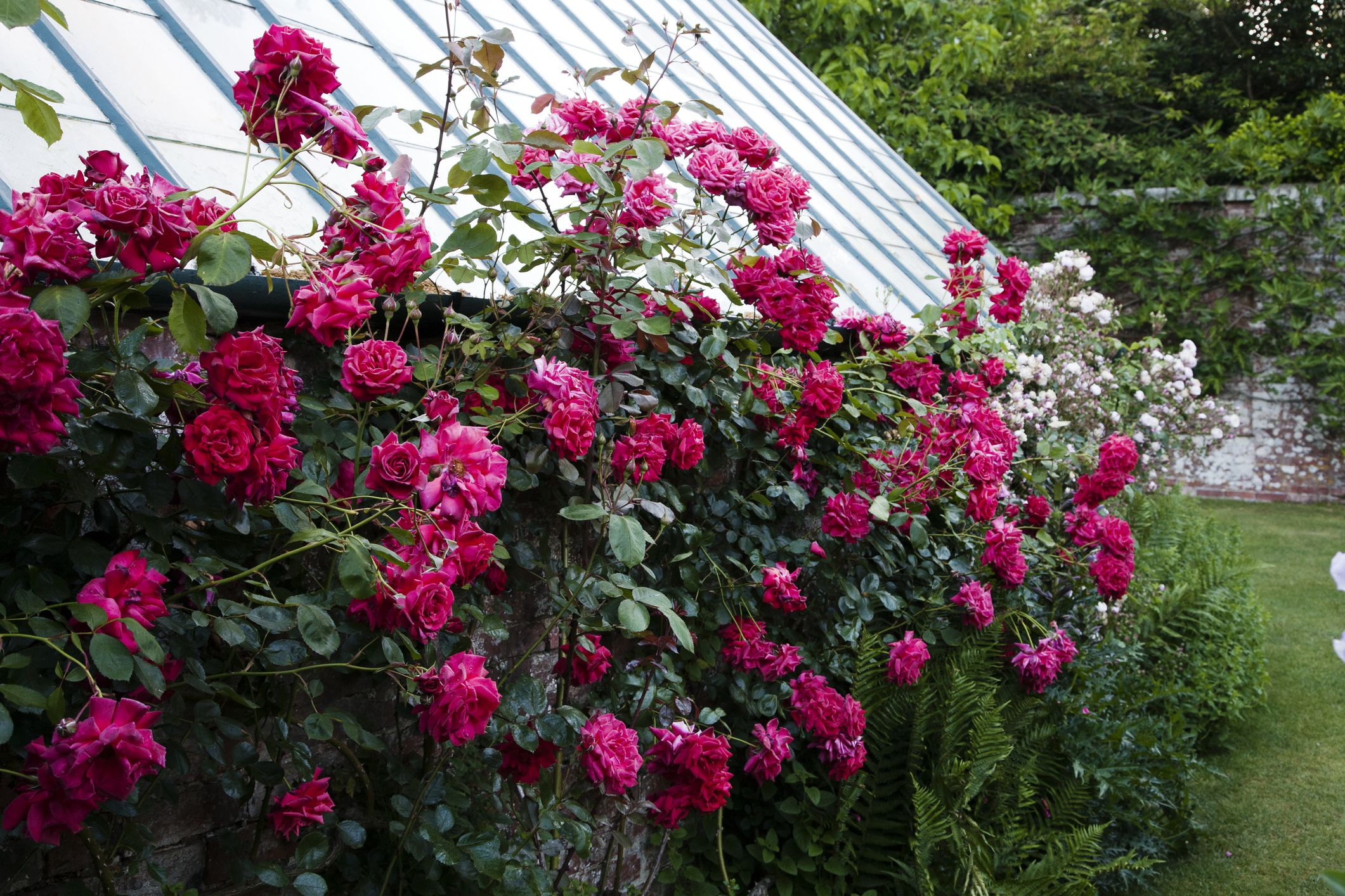 9 Types Of Climbing Roses