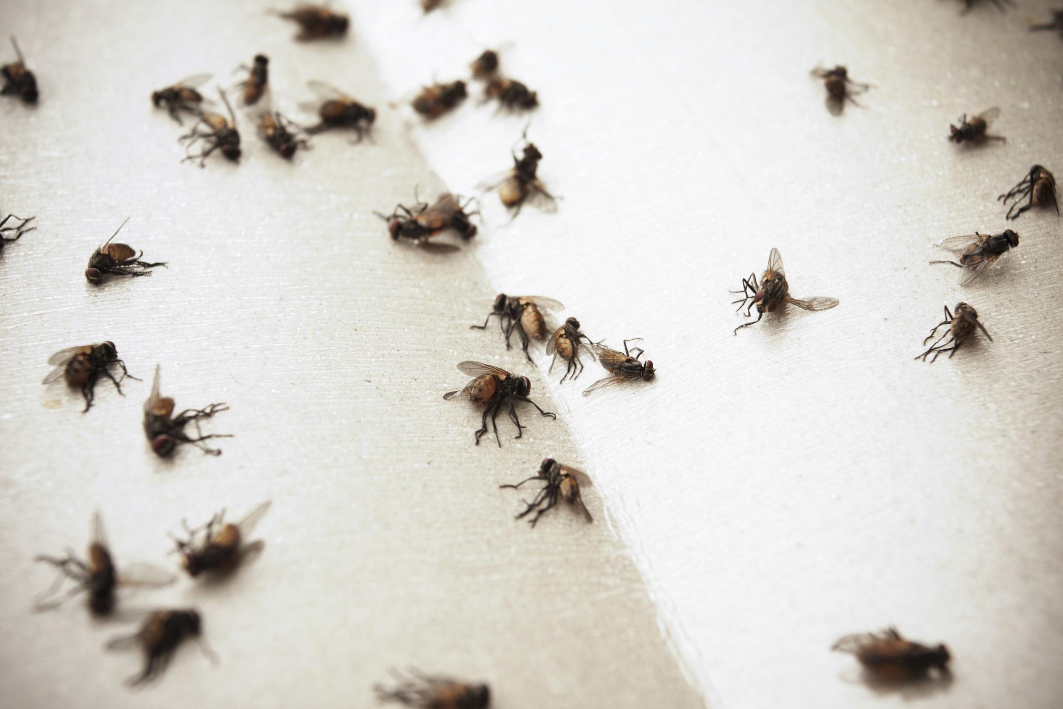 5 steps for indoor house fly control. Black Bedroom Furniture Sets. Home Design Ideas