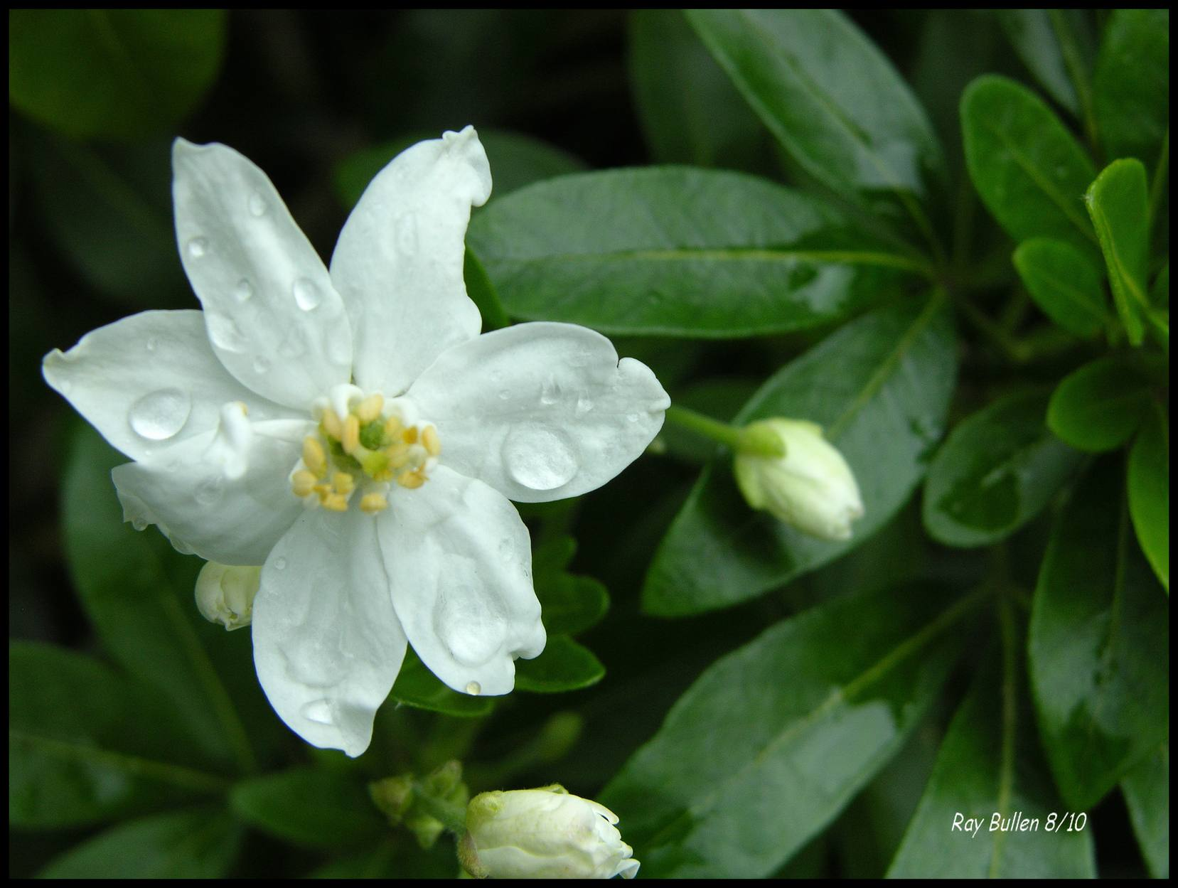 Fragrant jasmine plant gadding about with grandpat confederate fragrant jasmine plant 15 plants that smell best at night izmirmasajfo Gallery