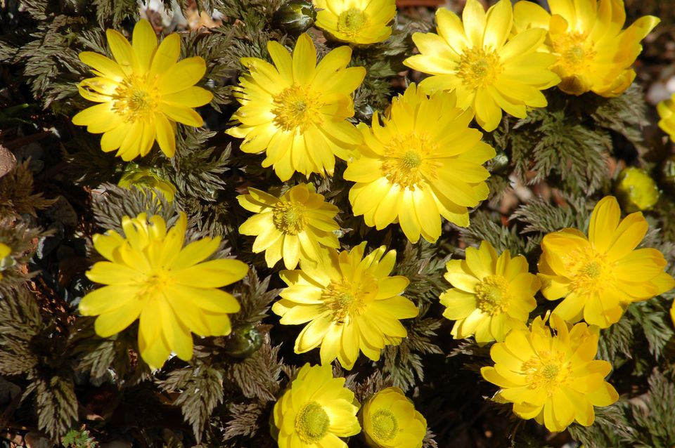 Adonis flowers are yellow in color. And if you do not believe me, check out this picture.