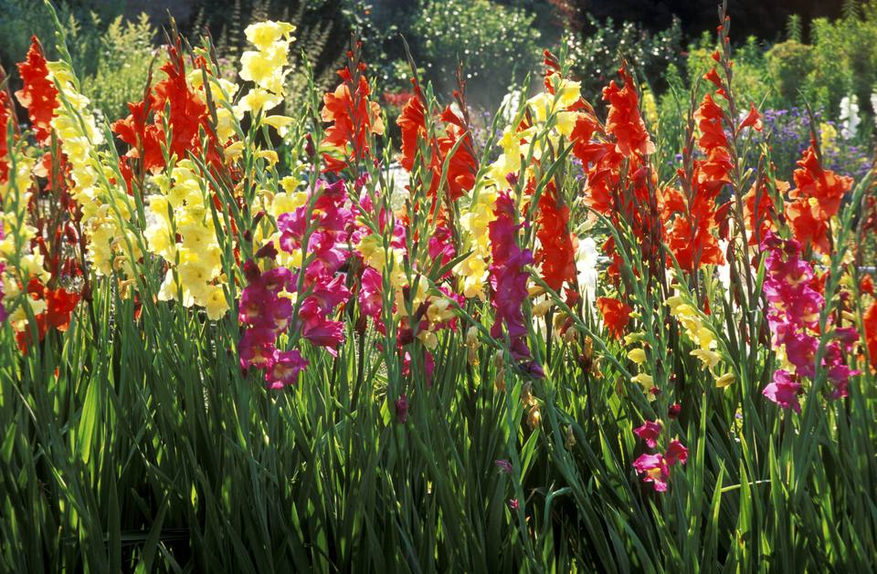 When to plant summer flowering bulbs outdoors mixed varieties of gladiolus flowering in august norfolk mightylinksfo Choice Image