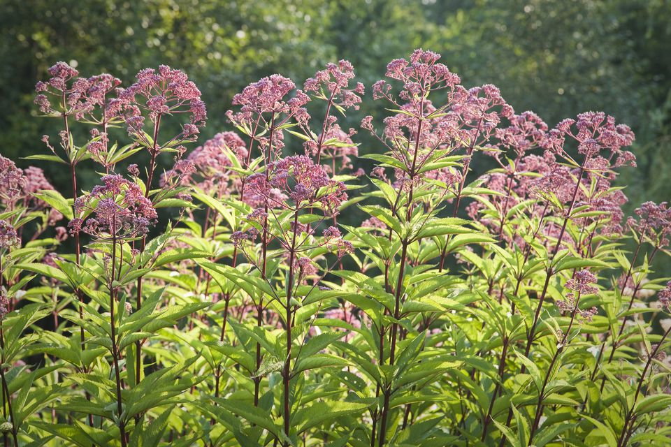 Joe Pye Weed Plants