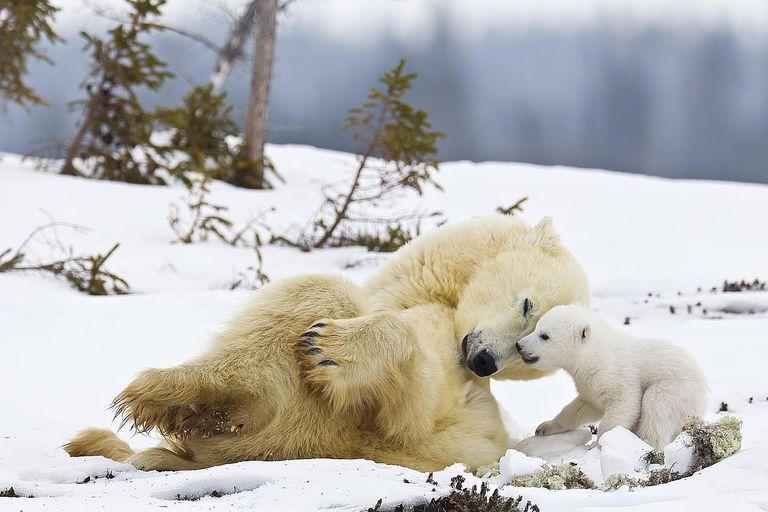 Mother polar bear and cub (Ursus maritimus)