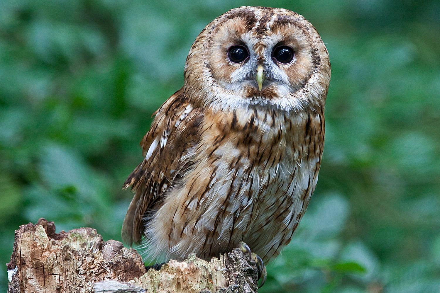10 ways to help owls owl conservation tips - Picture Of Owl