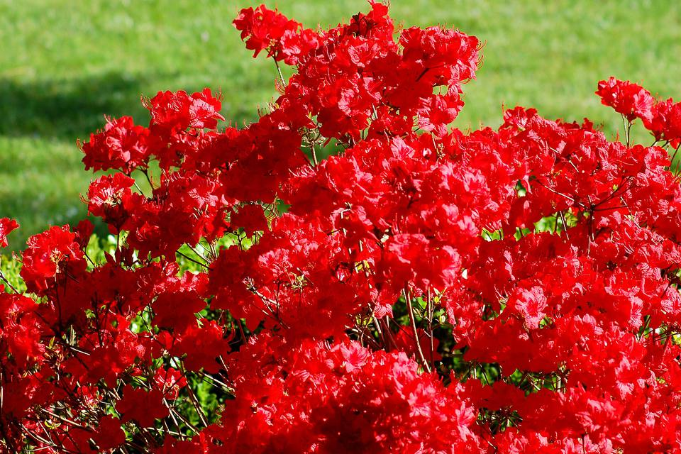 Stewartstonian azalea evergreen choice for a red azalea for Flowering landscape plants