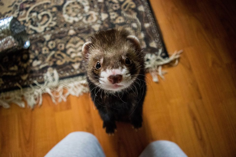 Ferret standing on hind legs looking at camera close-up