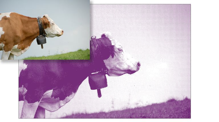 Original photo of a cow and the halftone version