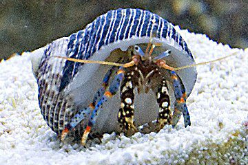 Madelyn Catob's Blue Legged Hermit Crab