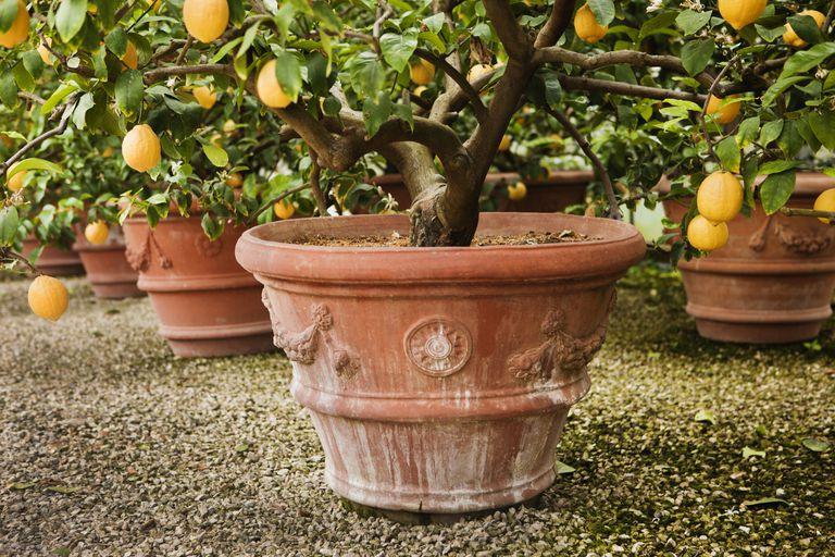 Árboles de limón
