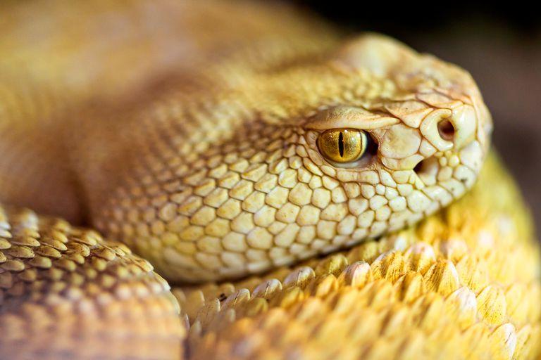 An albino western diamondback rattlesnake.