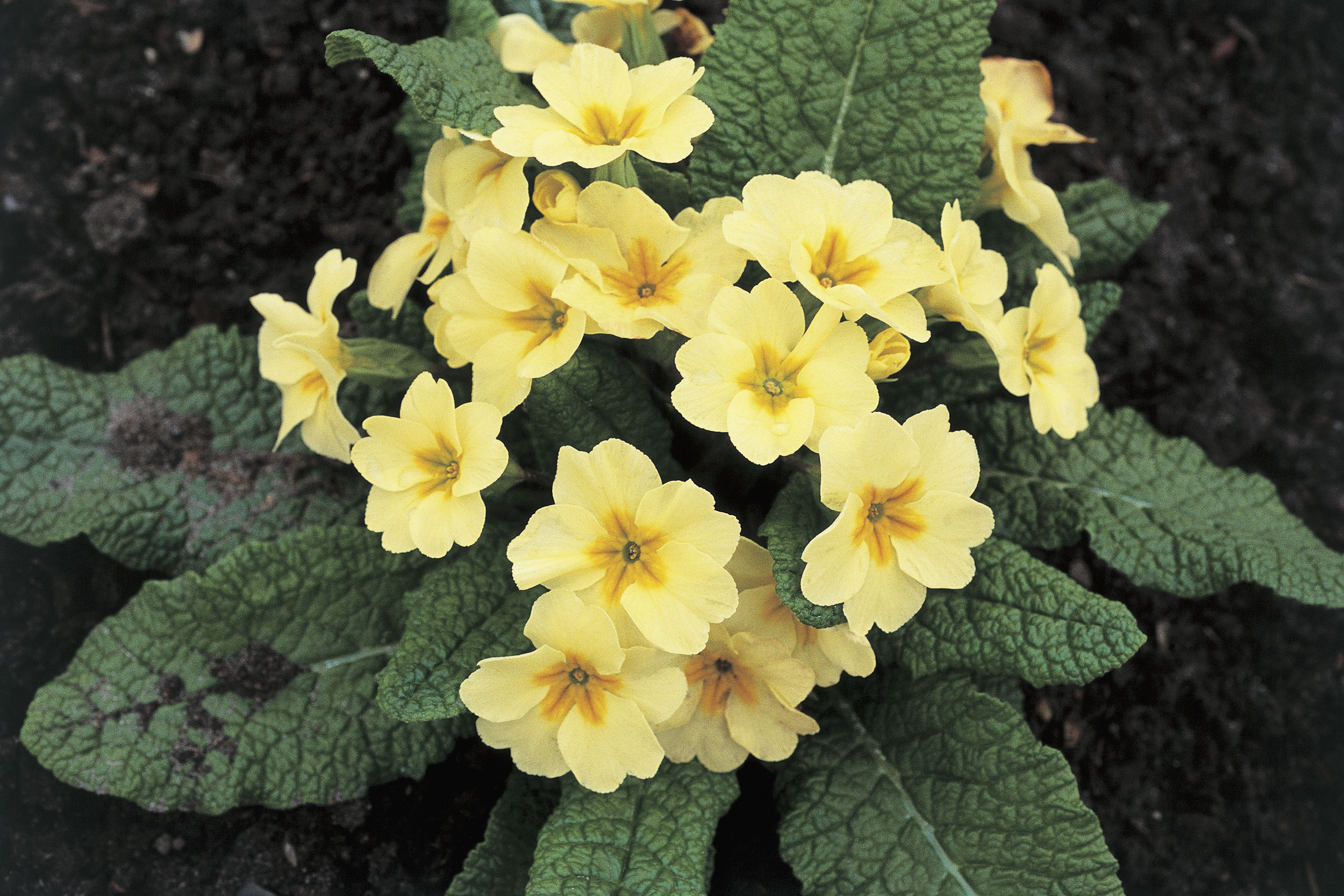 Growing Primrose Plants Indoors