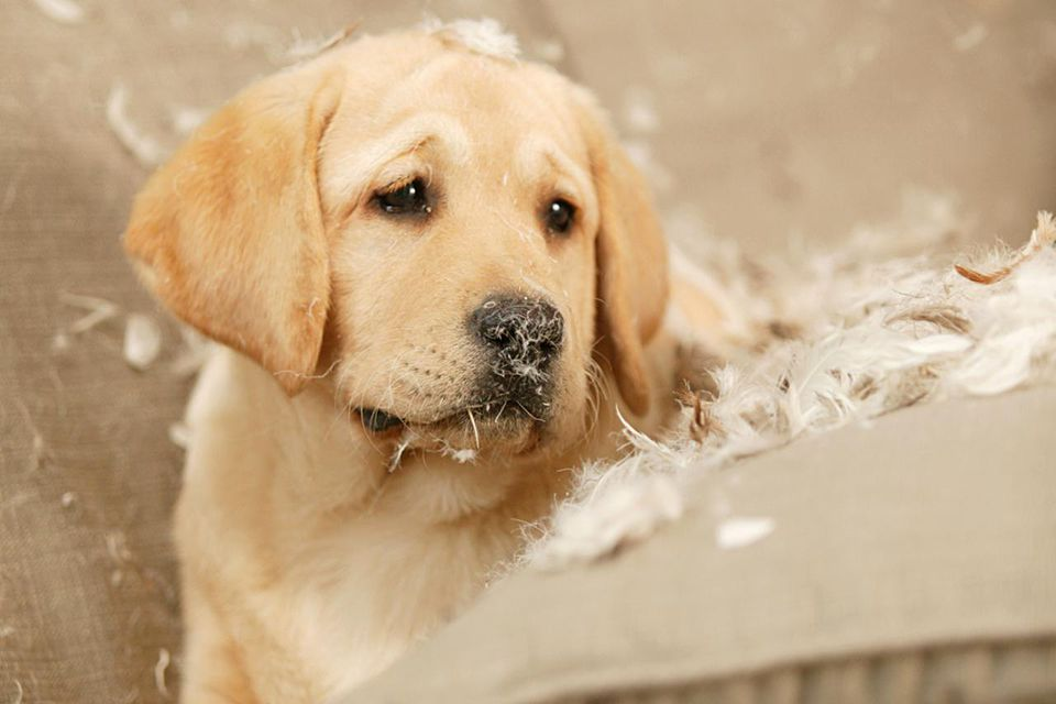 Golden Retriever puppy sitting on couch covered in pillow feathers