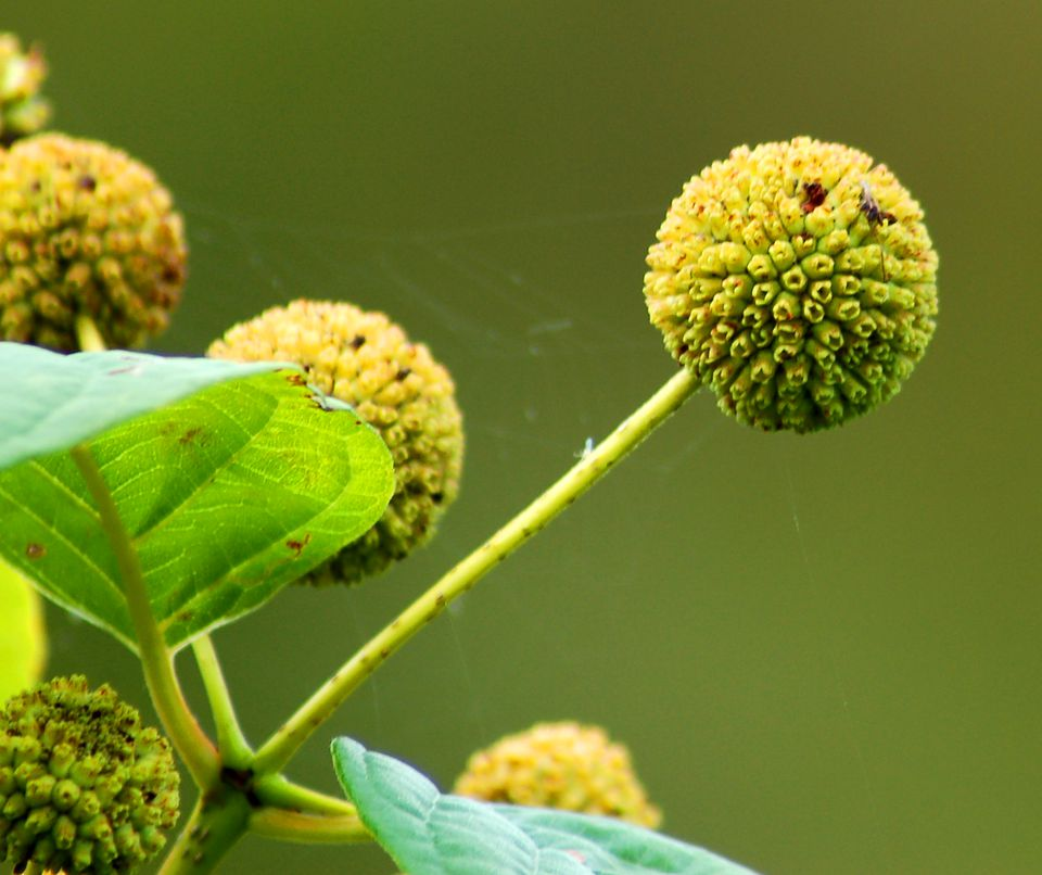 Buttonbush shrub has tightly rounded flower heads.