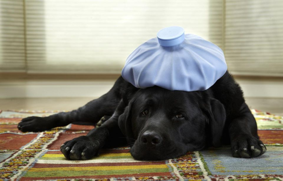 Sick dog wears ice pack on head
