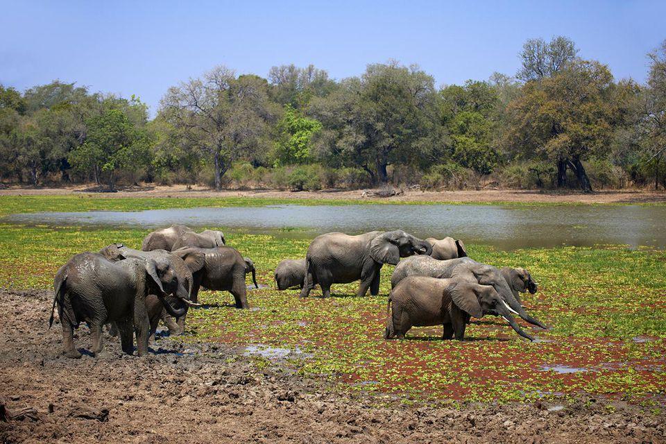 big herd of African Bush Elephant at waterhole, Loxodonta africana, South Luangwa National Park, Zambia, Africa