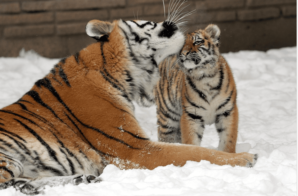 Tiger and baby tiger in snow