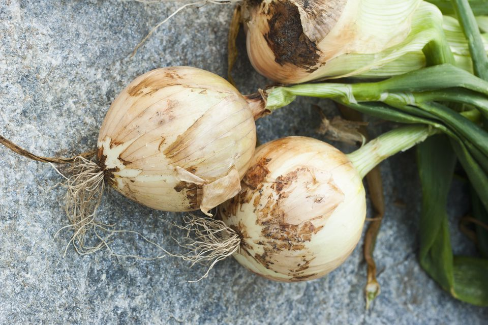 Close up of freshly picked onion bulbs