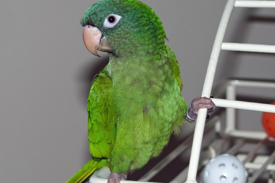 A pet Blue-crowned Parakeet (also known as Blue-crowned Conure and Sharp-tailed Conure) in Carmel, Indiana, USA.