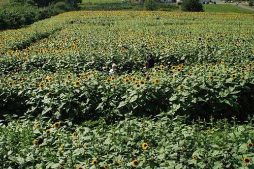 Lyman Orchards Sunflower Maze Photo