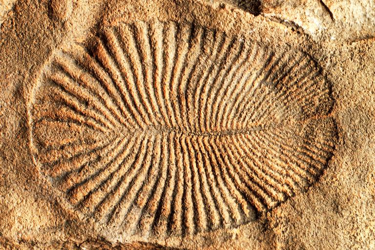 Fossil of Dickinsonia costar, an early animal that was part of the Ediacaran biota, primitive animals that lived during the Precambrian Period.