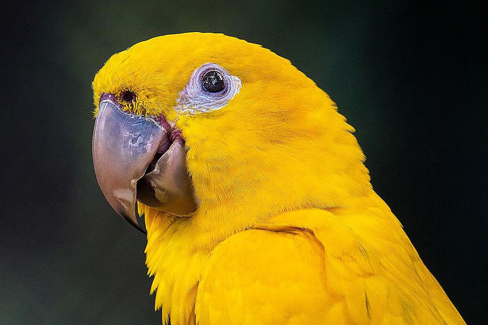 Ararajuba (Guaruba guarouba) - Golden Parakeet