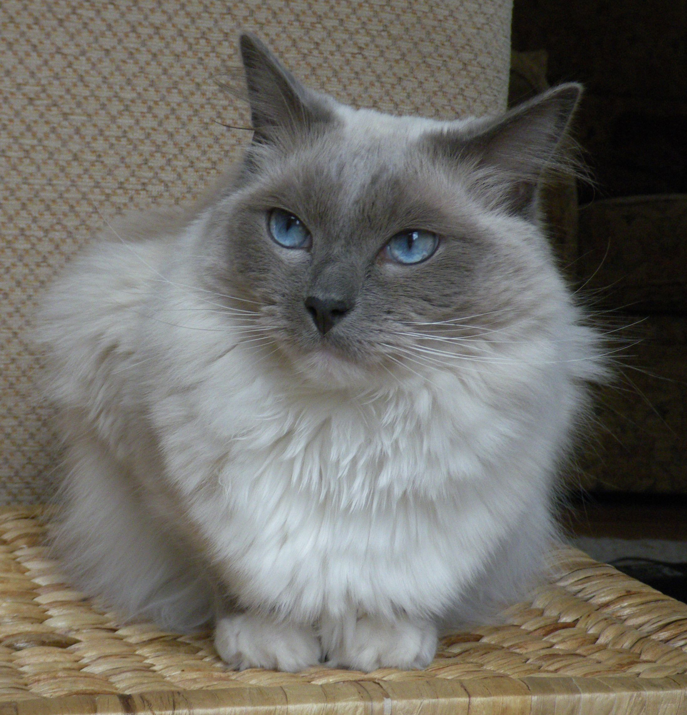 Personality parison The 12 Most Popular Cat Breeds