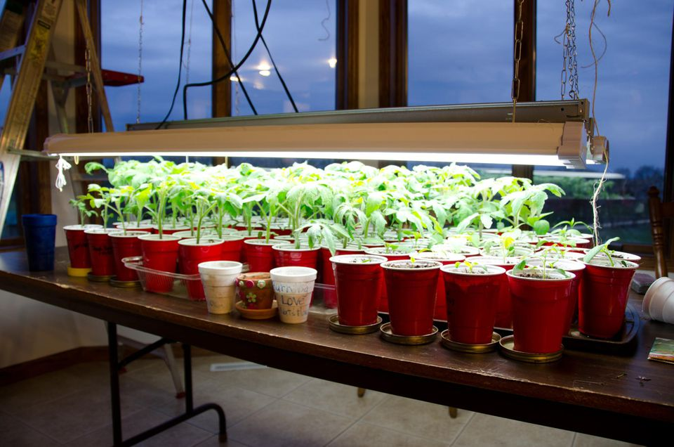 Growing Tomato Seedling Plants - Sustainibility