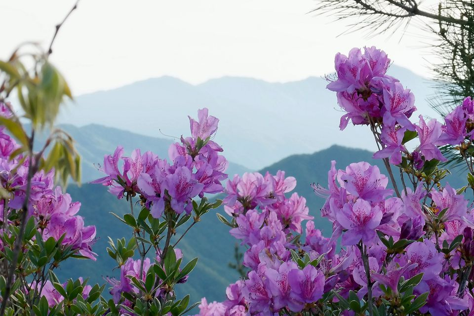 Lavender-colored azaleas against a mountain backdrop.
