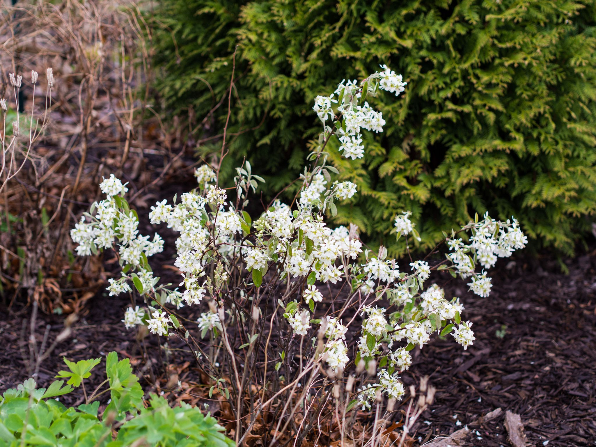 Ten Top Tips For Small Shady Urban Gardens: Shrubs For Part Shade And Full Shade Areas