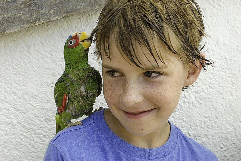 A green parrot sits on a boy's shoulder and tugs a lock of the boy's hair with its beak.