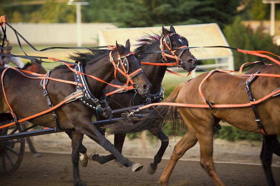 Chuck wagon race horses.