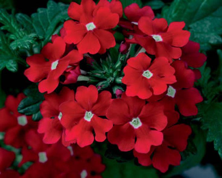 la corona de cristo es una planta fácil de cultivar en casa