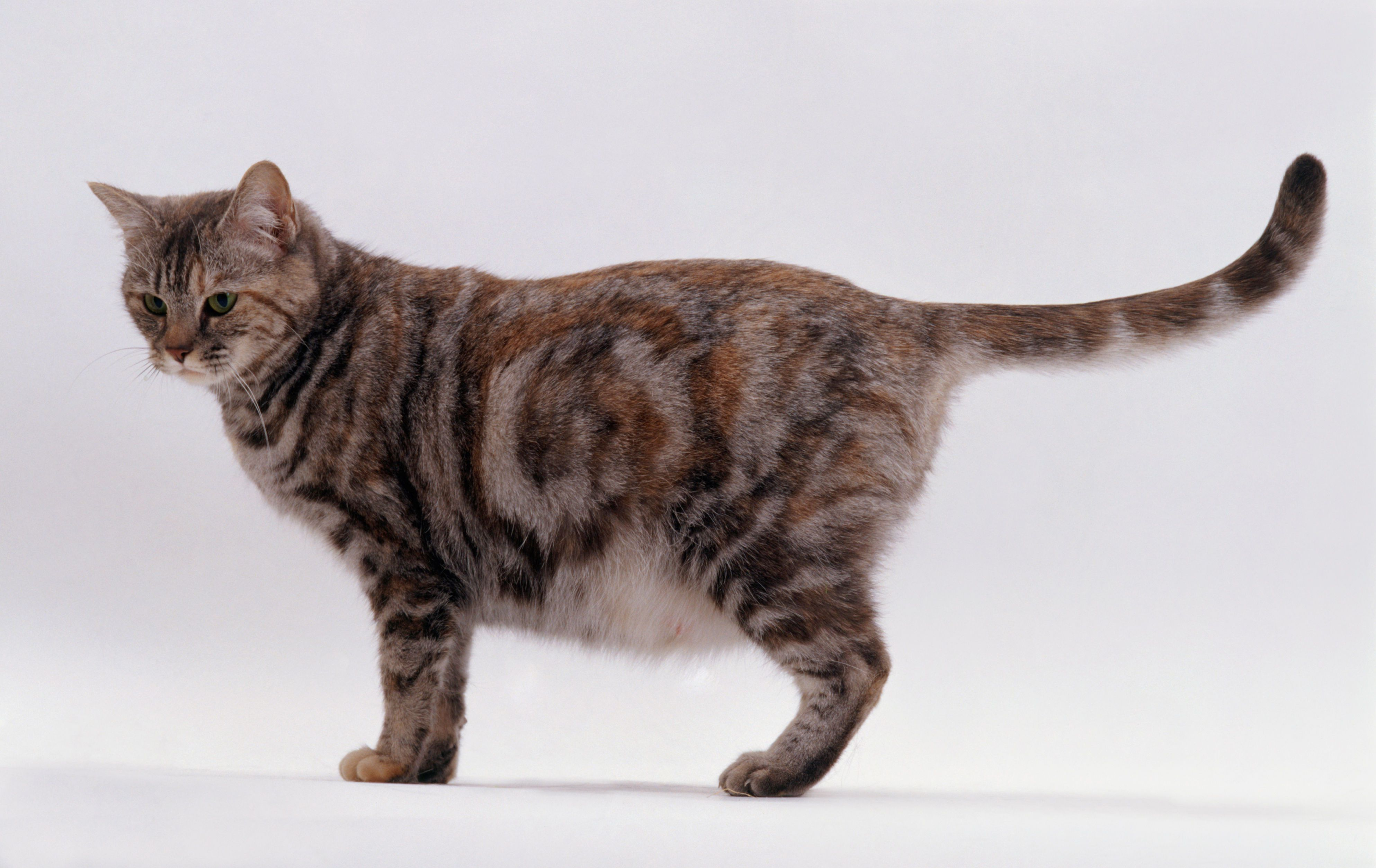 Should A Rescued Pregnant Cat Be Spayed