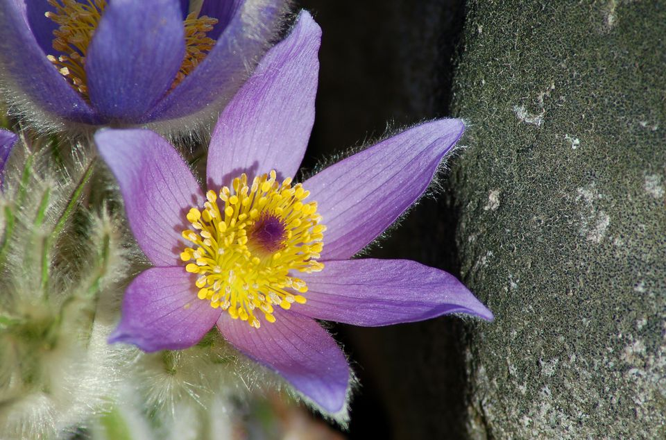 Pasque flower (image) means