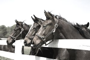 Thoroughbred Racehorses