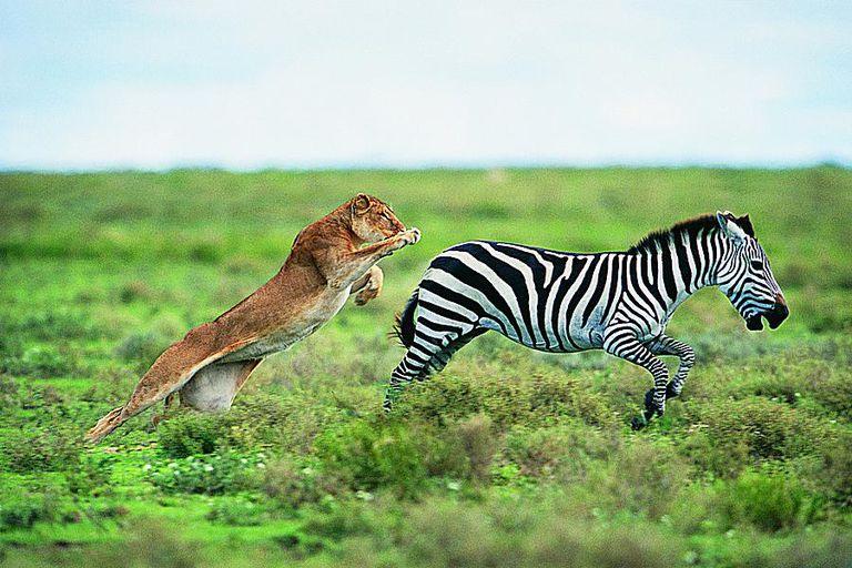 A lion (Panthera leo) hunting a Burchell's zebra.