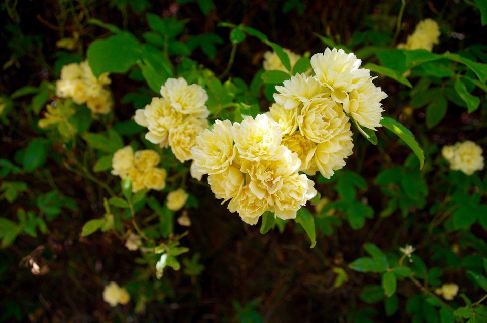 Yellow climbing roses in shade